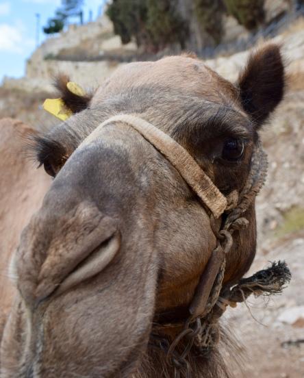 Kidron Valley Camel